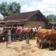 Puluhan ekor sapi di pasar hewan Glenmore, Kecamatan Glenmore, Banyuwangi yang tidak laku dijual karena sepi pembeli